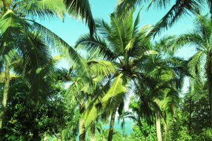 Facts about palm trees – study Spanish in Malaga at Academia CILE