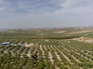 Olives in Andalusia brings the best olive oil in the world - study Spanish Academia CILE