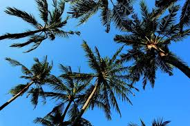 History of palm trees - study Spanish in Malaga at Academia CILE